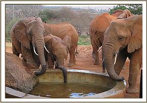Wild eles drinking and relaxing at the stockade