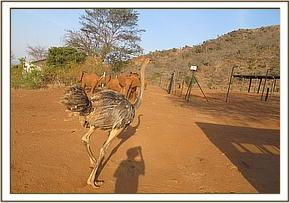 Orphan ostrich following the orphans gets chased