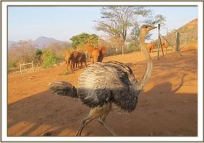 Lesanju chases the orphan ostrich