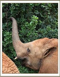 Ololoo's tusks can be seen as he browses
