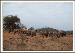 Wild elephants and orphans waiting for water