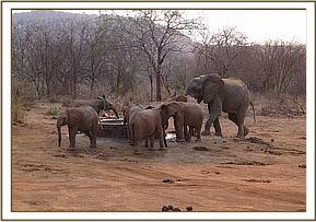 Wild elephants join the orphans for water