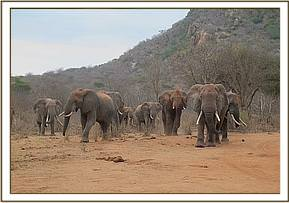 Wild elephants arriving at the stockade