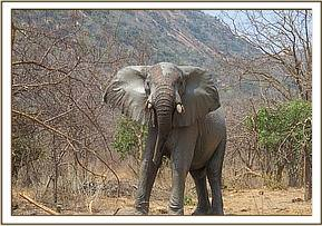 Wild elephant in a charging mood