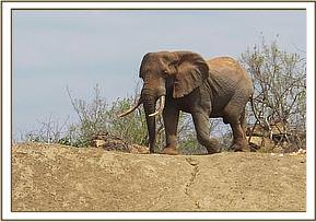 Wild elephant come to the mud bath