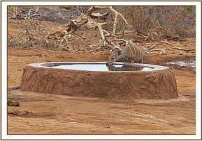 lesser kudu taking water