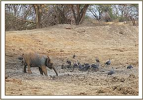 Ololoo watched by guineafowls