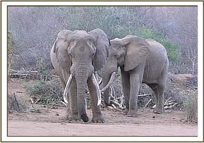 Two wild elephants at the stockades