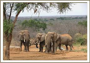 Rafiki with other wild elephants at stockade