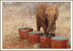 Mzima playing with the water barrels