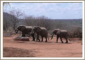 Wild elephants coming for water at stockade