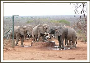 Wild bulls at the water trough