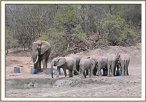 The ex orphans with wild elephant at the mudbath