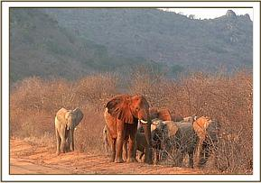 Wild females & calves with the orphans