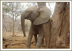 Selengai scratching against a tree