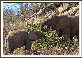 Lemoyian feeds with Chyulu