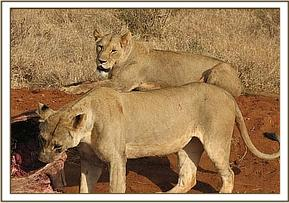 Lion feeding on a buffalo at Irima