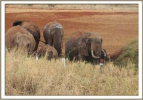 Wild elephants at at mudwallow
