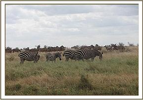 Zebras along the water pipeline