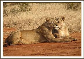 Two lionesses relaxing