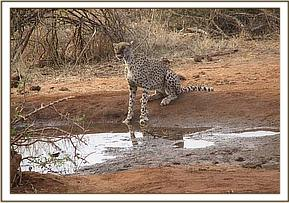 Cheetah, having a drink of water