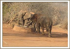 Three wild bulls have a drink at the water trough