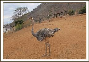 Rafiki, the orphan ostrich, at the stockade