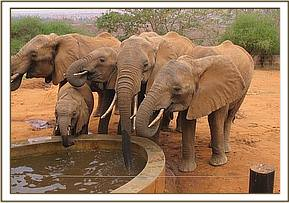 Frequent visiting wild herd having a drink