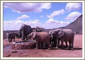 Olare drinking with wild elephants