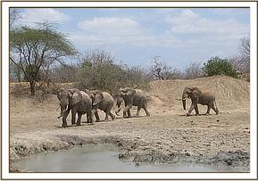 Wild elephants at mudbath