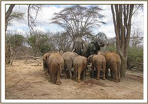 Orphans with two wild elephants