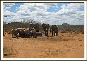 Wild bulls join the orphans in drinking water