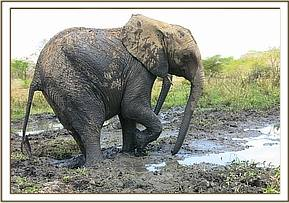 Murera getting out of the mud bath