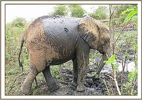 Murera after wallowing in the mud