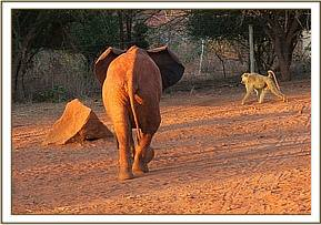 Tassia charging at a baboon