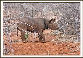 The young orphan rhino