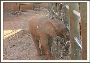 Kajire doing rounds in her pen