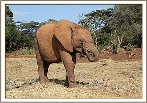 Enkesha sucking her trunk