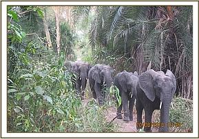 Quanza leading the orphan herd