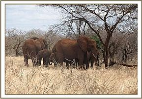 Wild eles at Ngutuni