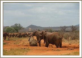 Wild eles along the water pipeline