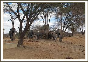 Mshale and other wild elephants