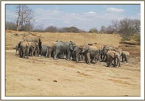 Ex orphans and wild elephants at the mudbath