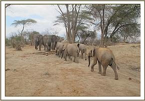 Orphans join the wild elephants to drink