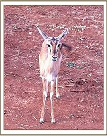 Orphan Geri the Thompson Gazelle
