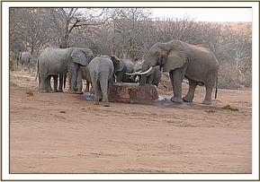 The ex orphans with a wild elephant