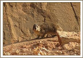 Rock hyrax on the orphans path