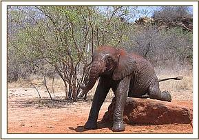 Olmalo scratching against a rock