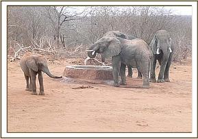 Ol Malo with wild elephants