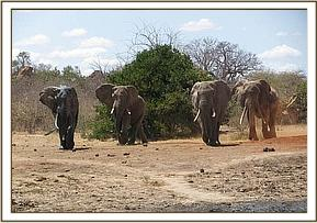 Wild elephants coming to the mudbath